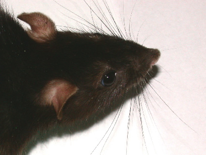Whiskers Rat a Rat's Whiskers