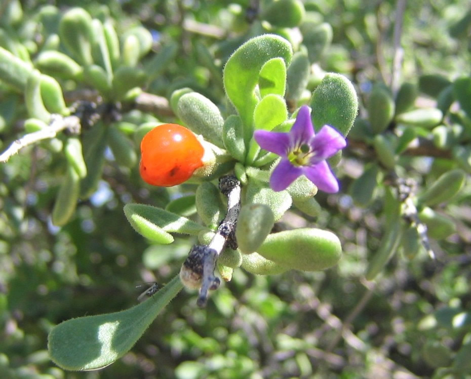 ... of wolfberry, a member of the Solanaceae family. Boris Igic, UCSD