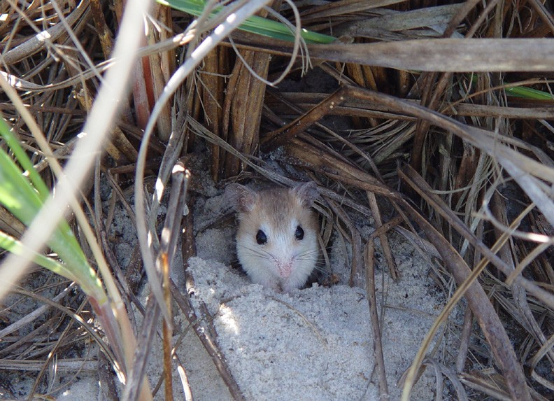 Discovery of Genetic Mutation in Florida Beach Mice Suggests