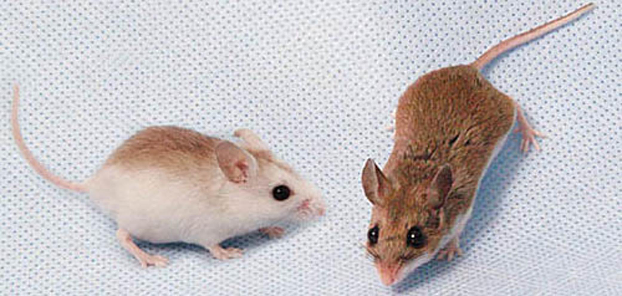 light fur evolved to help beach mice survive on white sand dunes while darker fur help mainland mice survive in fields credit peromyscus genetic stock