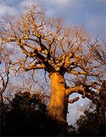 Photo of Baobab Tree in Madagascar