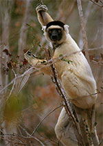 Photo of Sifaka Lemur in Madagascar