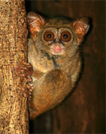 Photo of Spectral Tarsier in Sulawesi