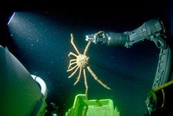 Photo of a spider crab