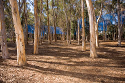 Photo of UCSD's eucalyptus forest