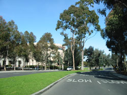 Photo of UCSD Campus Trees
