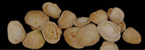 Photo of Venus clams