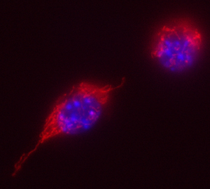 Photo of Mouse Macrophages