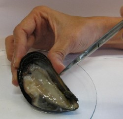Photo of Mussel