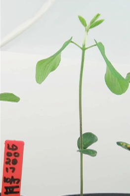 Soybean Plant Video