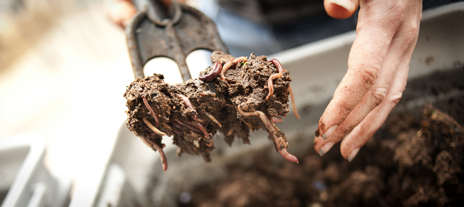 One pound of redworms can eat half a pound of food scraps a day in a compost bin.