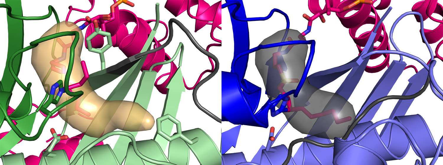 FabZ (green, left image) has a deep pocket (tan surface) for the fatty acid, but the fatty-acid pocket (gray surface, right image) has a different length and shape in FabA (blue).