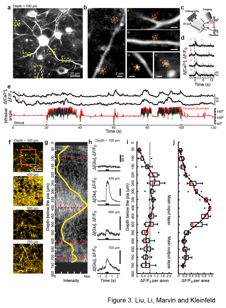 Imaging the microstructure of neuronal communication in the part of the mouse cortex that is sensitive to the motion of the whiskers.