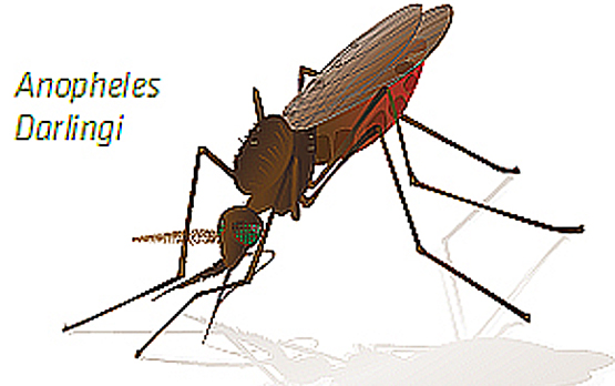 <p>Illustration of <em>Anopheles darlingi</em>.</p>