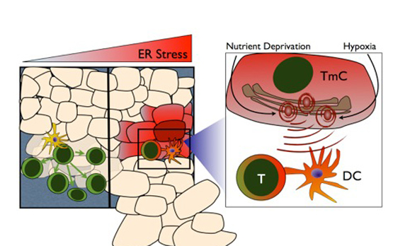 <p>The cartoon represents the consequences of tumor ER stress on components of the adaptive anti-tumor immune response.&nbsp; Under ideal circumstances (left panel), tumor cells and their antigens are picked up by immune cells such as dendritic cells (DC), which in turn instruct T cells (T) to proliferate and eliminate the tumor cells. A different scenario (center panel and right insert) occurs in the growing tumor where tumor micro-environmental factors such as nutrient deprivation or hypoxia create ER stress in tumor cells (TmC). These stressors induce an unfolded protein response (UPR) in tumor cells, which is then transmitted to nearby DC and brainwashes them. Affected dendritic cells no longer coordinate T cells, and impaired T cells no longer proliferate. This inappropriate T cell education hinders the effect of the body's anti-tumor immune response and allows for unrestrained tumor growth.</p>