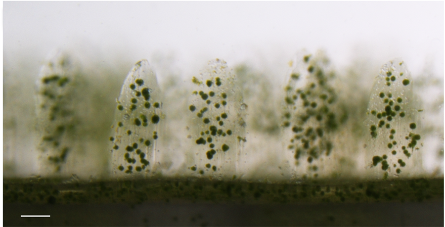 Microscopic view of microalgae growing on 3D printed coral structure