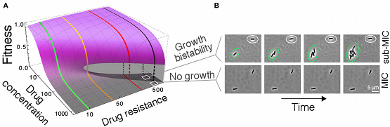 "<p>The researchers found a range of drug doses for which genetically identical bacterial cells exhibited drastically different behaviors: while a substantial fraction of cells stopped growing despite carrying the resistance gene, other cells continued to grow at a high rate—a phenomenon called ""growth bistability."" <em>Credit: J. Barrett Deris</em></p>"