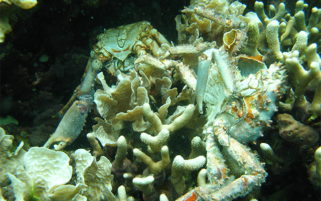 Low oxygen caused the death of corals and crabs in Bocas del Toro, Panama. Photo: Arcadio Castillo/Smithsonian