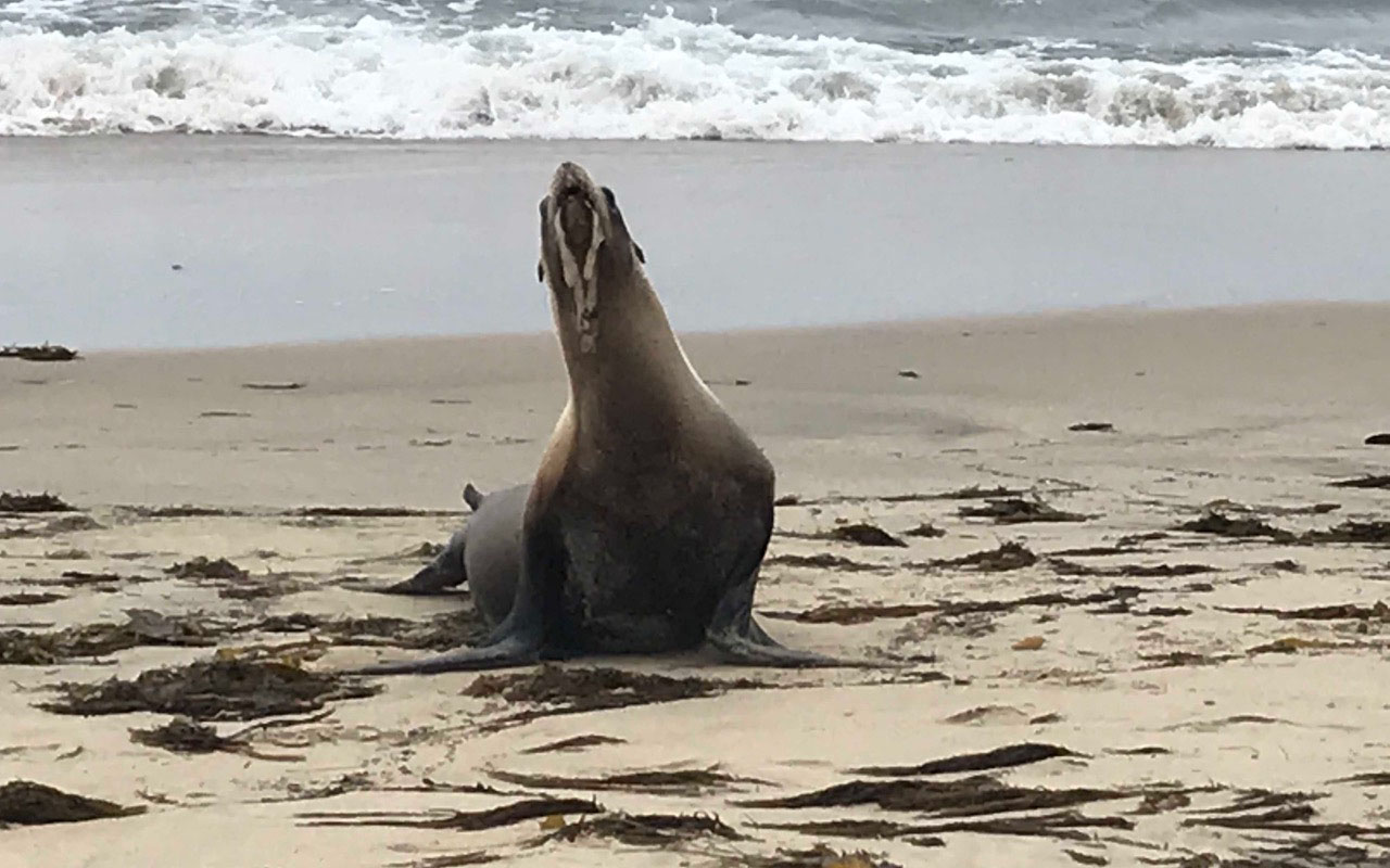 A sea lion suffering from domoic acid poisoning. Photo: Peter Wallerstein/Marine Animal Rescue.