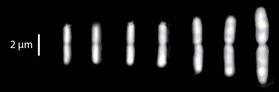 Photo: Dividing E. coli cells at seven different growth conditions