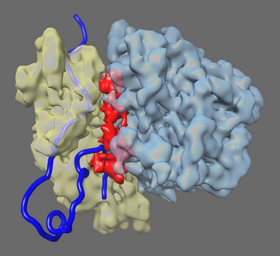 fragile X protein bound to ribosome