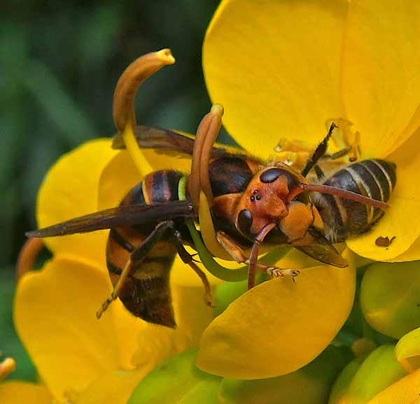 Image: A giant Asian hornet attacks an Asian honey bee forager