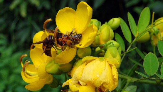<p>The smaller hornet studied by the researchers attacks a honeybee forager on a flower. Image by Ken Tan</p>