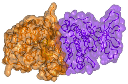 Image: Surface presentation of the active dimer of the EGFR kinase subunits