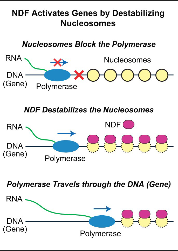 NDF graphic for destabilizing nucleosomes