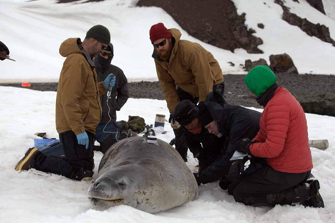 Image: Leopard Seal with Crittercam and capture crew