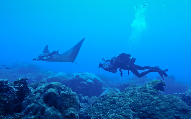 Juvenile manta ray with diver underwater.