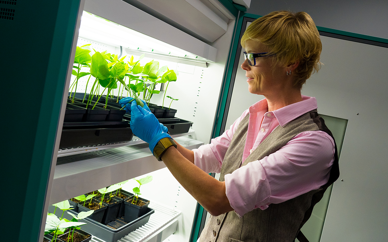 Researcher examines plants grown in the lab
