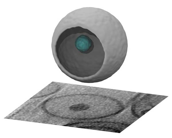 Image: Three-dimensional image of novel drug packet reconstructed by advanced imaging