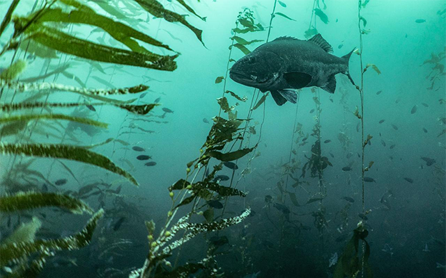 A giant sea bass swims in a kelp forest.