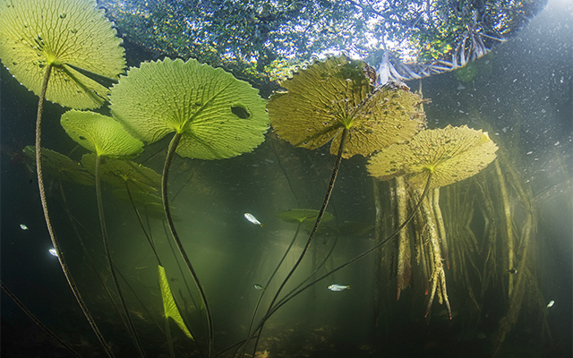 An underwater view of fish swimming near the submerged roots of a lush mangrove forest.