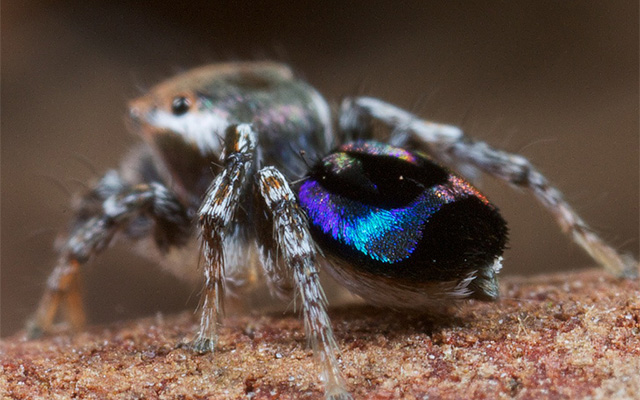 Peacock spider, Maratus robinsoni. Photo courtesy coauthor Jurgen Otto.