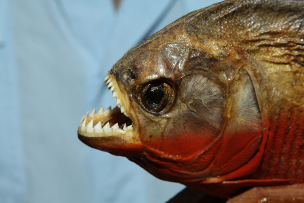 Engineers find inspiration for new materials in piranha for Dangerous fish in the amazon