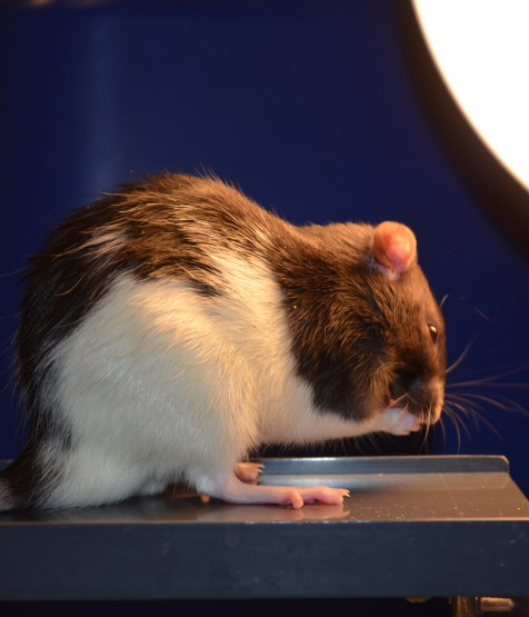 <p>Rats exposed to less light during the day were more likely to explore the open end of an elevated maze, a behavioral test showing they were less anxious. Credit: Davide Dulcis and Pouya Jamshidi, UC San Diego</p>