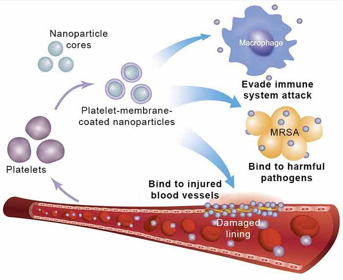 Image: Platelet-membrane-coated nanoparticles are made by coating biocompatible nanoparticle cores with the membranes of human platelets.
