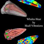 How Whales Hear: 3D Computer Simulations of Baleen Whale's Head Point to Skull Vibrations