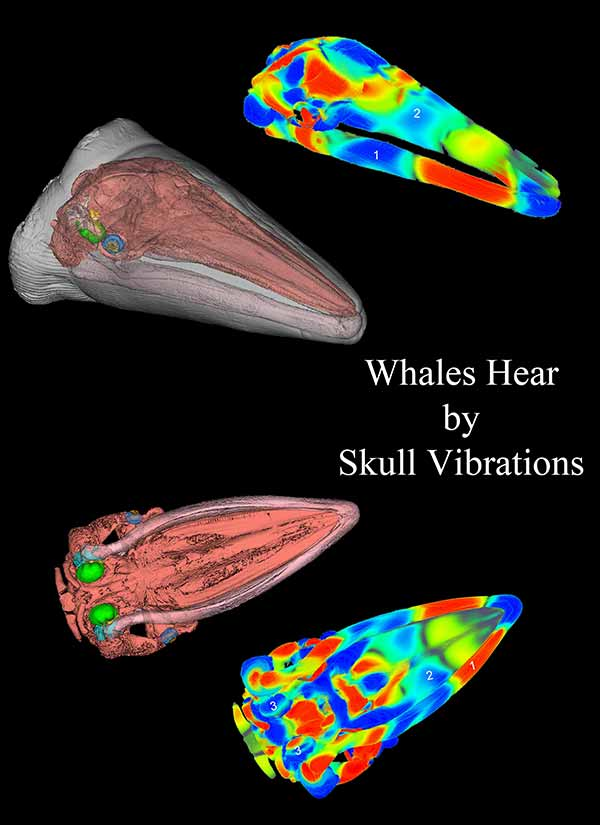 Photo: Whales hear by skull vibrations