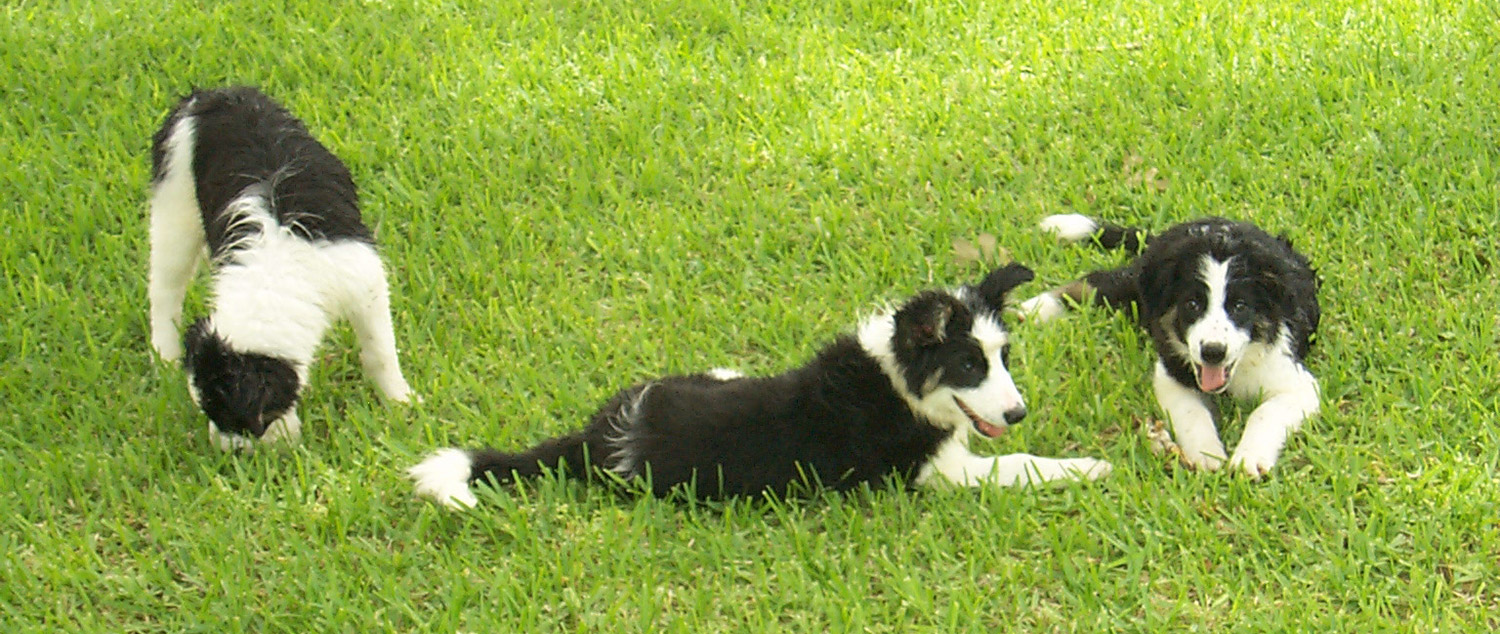 Three Collies hires