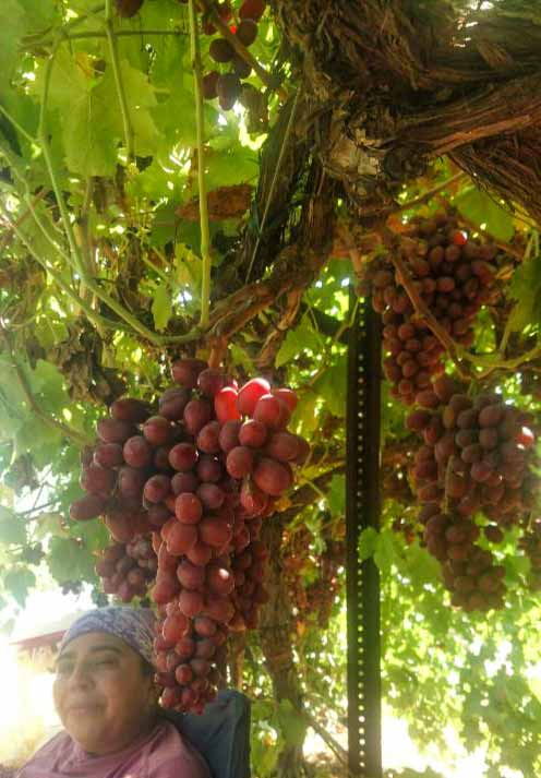 mother with grapes on a vine