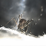 UC San Diego Researchers Join $14.9 Million Fight Against Disease-transmitting Mosquitoes