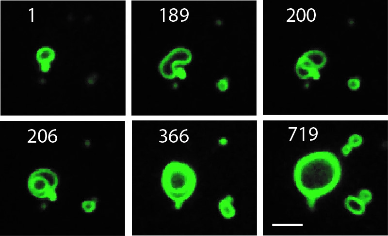 Photo: Growing cell membranes are seen in this time lapse sequence