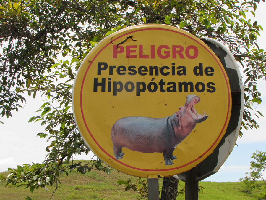 Drug Lord's Hippos Make Their Mark on Foreign Ecosystem