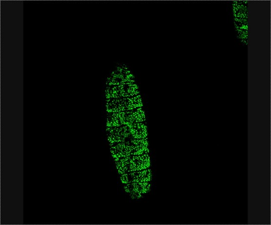 <p>Puncturing a <em>Drosophila</em> embryo with the enzyme trypsin activates genes throughout the epidermis that help in wound healing, shown in green. Credit: Rachel Patterson, UC San Diego</p>