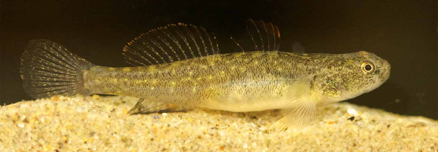 Endangered fish find temporary refuge from el ni o at for California freshwater fish