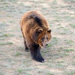 Measuring the Impact of a Changing Climate on Threatened Yellowstone Grizzly Bears