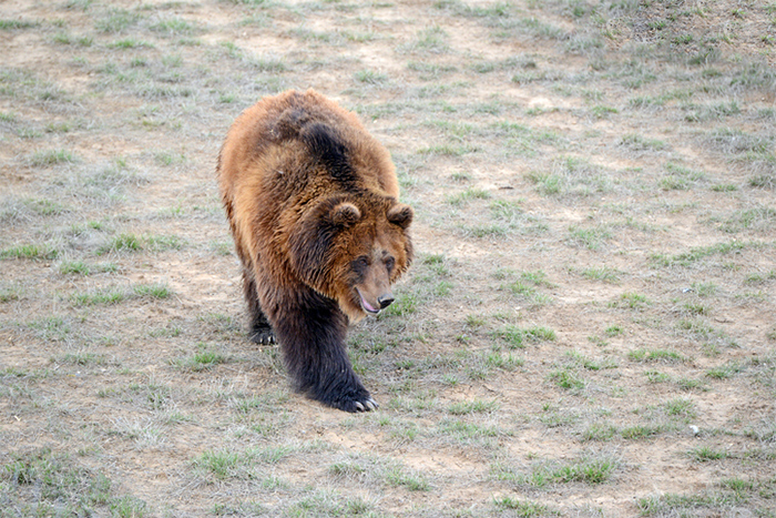 Grizzly Bear iStock Photo robertcicchetti